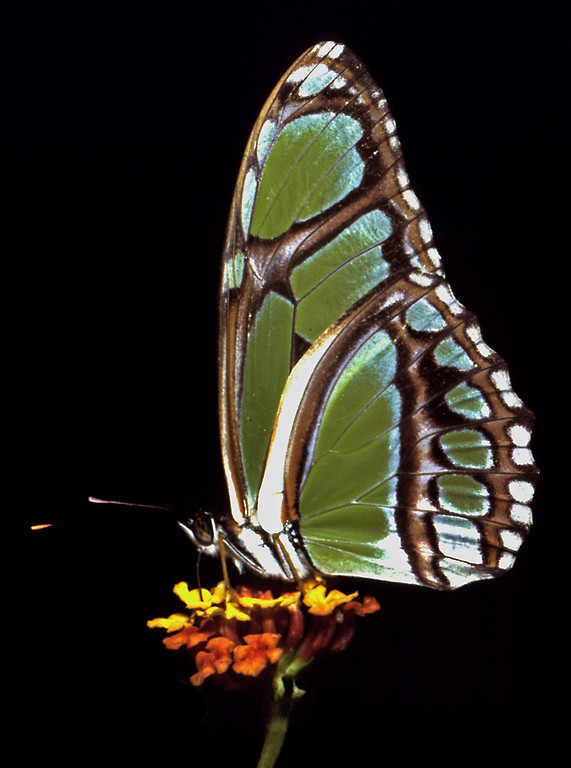 Philaethria dido butterfly