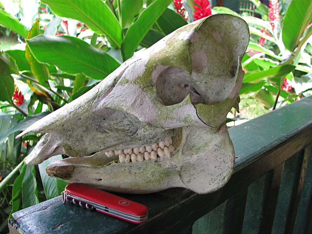 Skull of a Baird's Tapir (Tapirus bairdii), San Perillo ranger station, Corcovado National Park, Osa Peninsula, Costa Rica.
