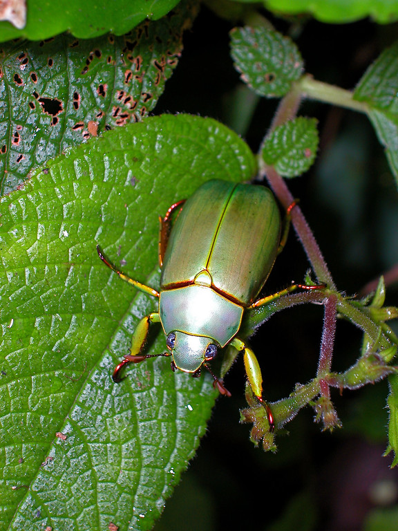 Golden scarab beetle (Chrysina aurora, subfamily Rutelinae).  The genus is often called Plusiotis.  This beetle came to a black light at Alberto Manuel Brenes Biological Reserve, Costa Rica.