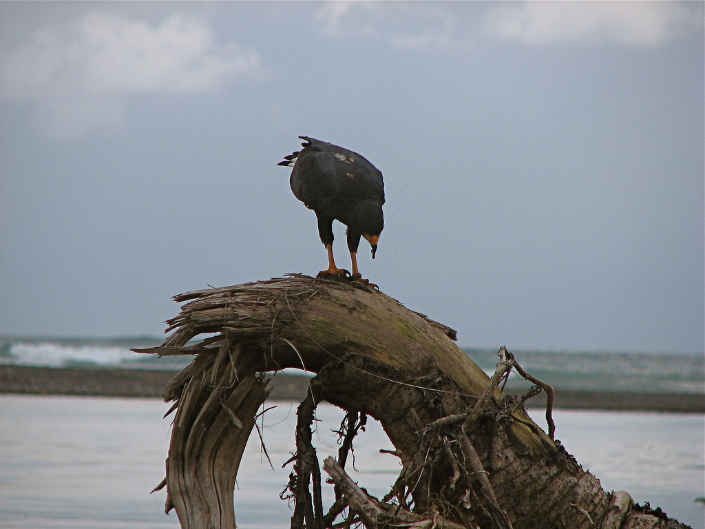 Mangrove Black Hawk (Buteogallus anthracinus subtilis) eating a crab at the mouth of the Rio Claro, Corcovado National Park, Costa Rica.