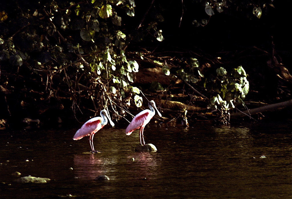 Roseate spoonbills at the mouth of the Rio Claro in low water, late dry season.  Corcovado National Park, Costa Rica.
