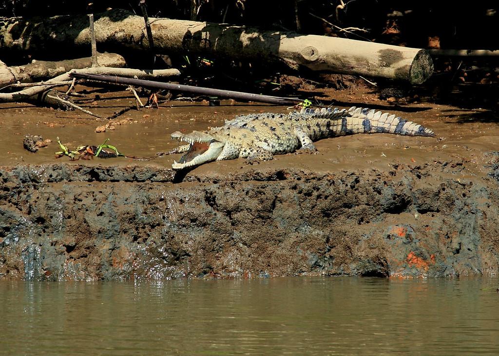 American Crocodile (Crocodylus acutus), Rio Sierpe, Costa Rica