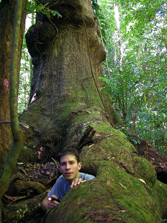 Exploring hollow root that leads to a hollow bole, Campanario, Osa Peninsula, Costa Rica