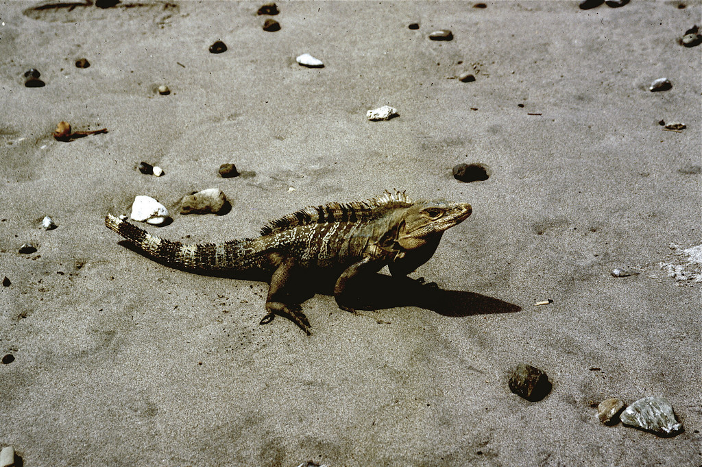 black iguana on beach