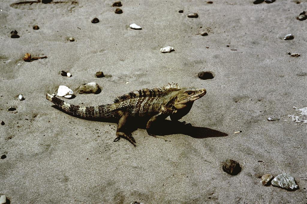 black iguana on beach