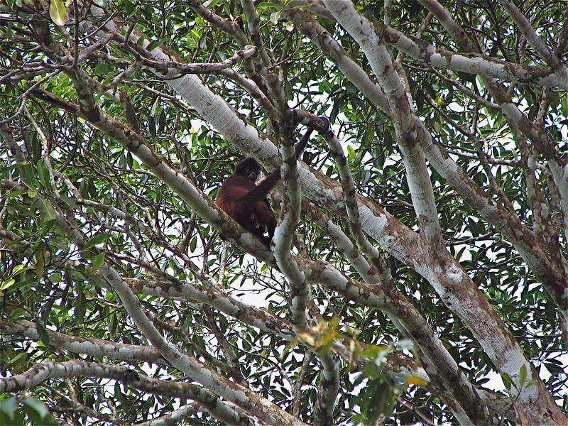 Spider Monkey (Ateles geoffroyi) near the mouth of the Rio Sirena, Corcovado National Park, Costa Rica.  Spanish names: Mono Arana, Mono Colorado.