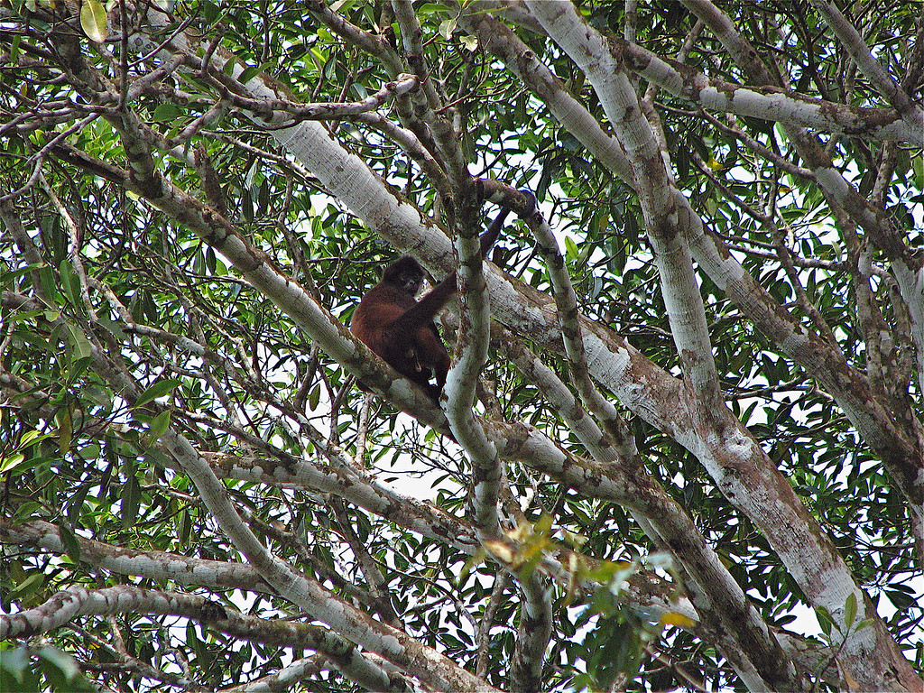 Spider Monkey (Ateles geoffroyi) near the mouth of the Rio Sirena, Corcovado National Park, Costa Rica.  Spanish names: Mono Arana, Mono Colorado.