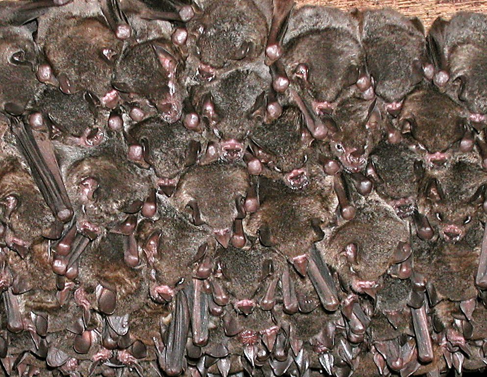 Carollia sp. bats roosting under the building at Alberto Manuel Brenes Biological Reserve, Costa Rica