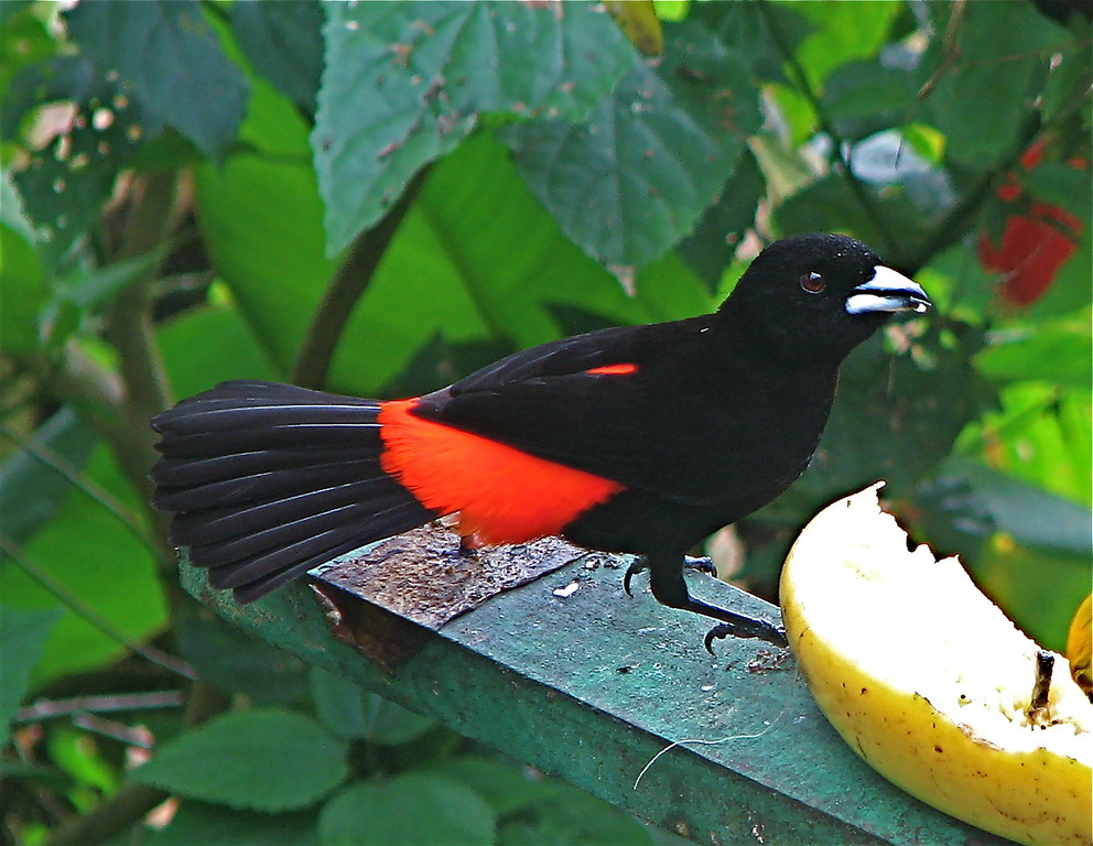 Cherrie's Tanager (Ramphocelus costaricensis), male.  Formerly known as the Scarlet rumped tanager. At fruit feeders of the restaurant Mirador Valle del General, near San Isidro, Costa Rica