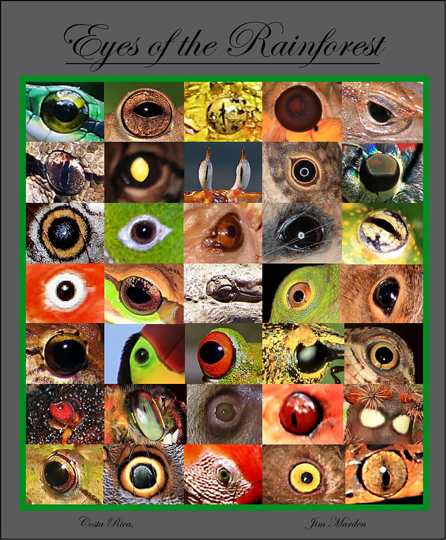 Compilation of eyes of animals from Costa Rica.  These include mammals, birds, lizards, snakes, crocodile, insects, and crabs.  Three of these are fake eyes meant to fool potential predators.  Can you find them?