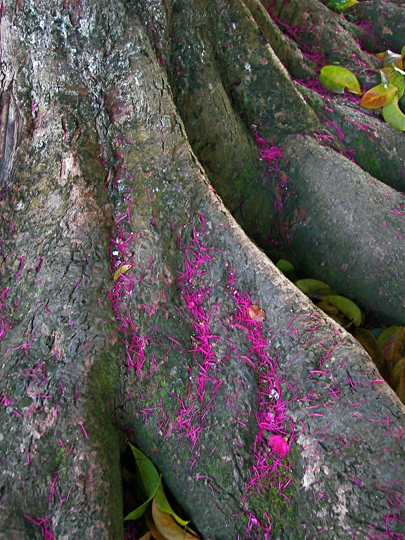 Fallen flowers from a water apple tree (Syzygium samarangense), Sierpe, Costa Rica.