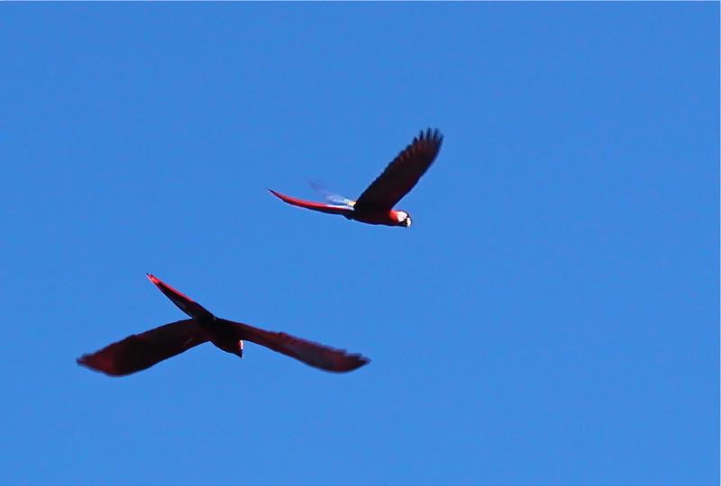 Scarlet macaws (Ara macao). Osa Peninsula, Costa Rica. Spanish name is lapa.