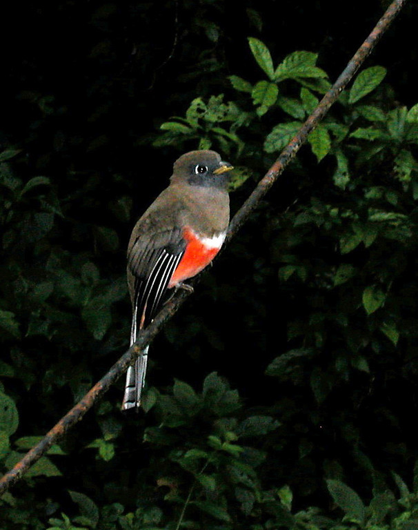 Collared trogon (Trogon collaris) female.   Alberto Manuel Brenes biological reserve, Costa Rica.