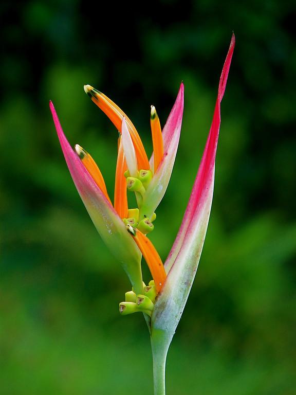 Heliconia psittacorum inflorescence, Campanario, Osa Peninsula, Costa Rica
