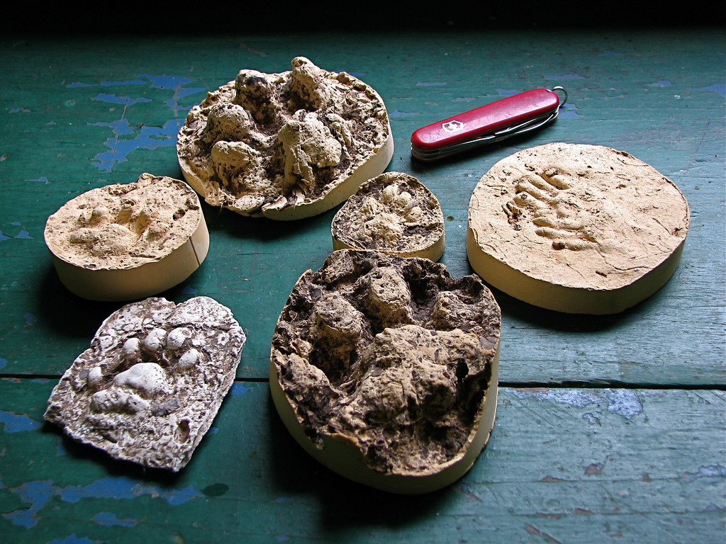 Plaster casts of primarily cat tracks (jaguar, puma, ocelot, marguay) from the forest at Alberto Manuel Brenes Biological Reserve, Costa Rica.