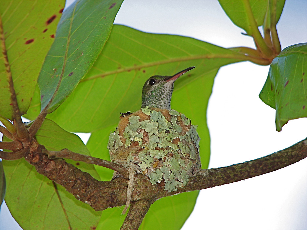 Hummingbird on its nest, Sierpe, Osa Peninsula, Costa Rica