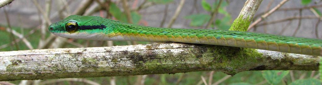 Green Parrot Snake (Leptophis ahaetulla), Campanario, Osa Peninsula, Costa Rica.  Spanish names are Bejuquillo verde, lora falsa gigante.