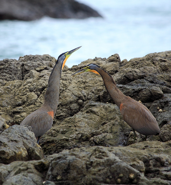 Courting Bare-throated Tiger Herons (Tigrisoma mexicanum) on the shore at Campanario, Osa Peninsula, Costa