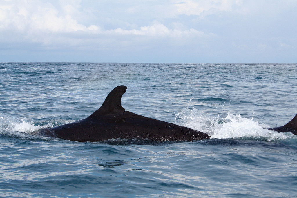 False killer whale (Pseudorca crassidens) off the shore of the Osa Peninsula, Costa Rica, in the eastern Pacific.