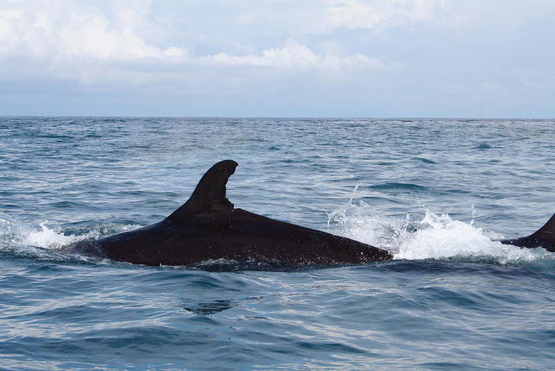 False killer whale (Pseudorca crassidens) off the shore of the Osa Peninsula, Costa Rica, in the eastern Pacific.
