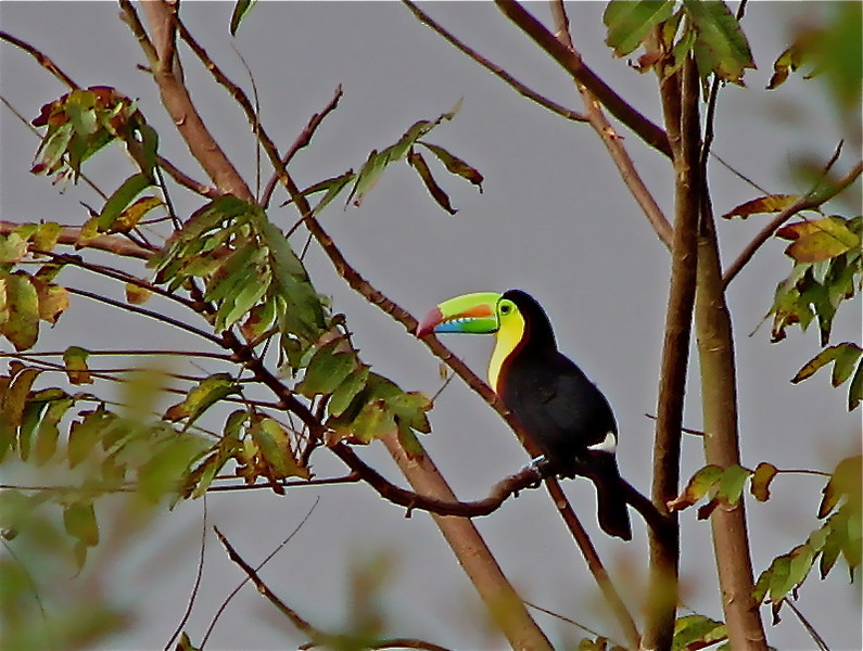 Keel-billed Toucan (Ramphastos sulfuratus), Arenal Volcano, Costa Rica.  Spanish name is Tucan Pico Iris.