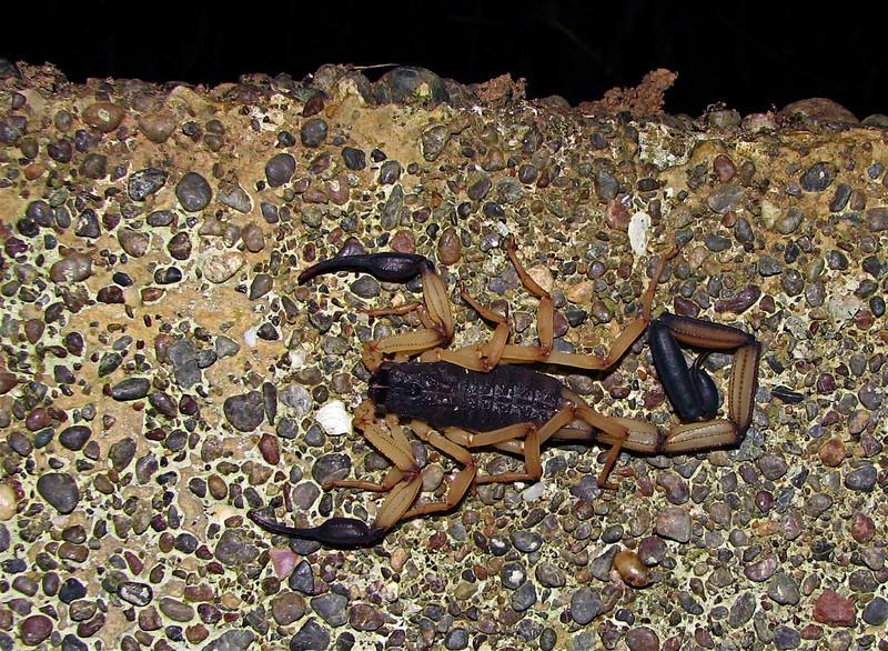 Large scorpion in my bathroom, Campanario, Osa Peninsula, Costa Rica
