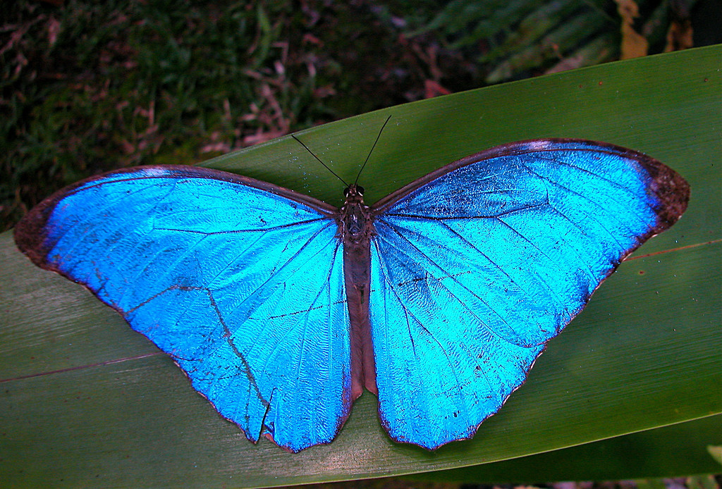 blue morpho butterfly (Morpho amathonte)