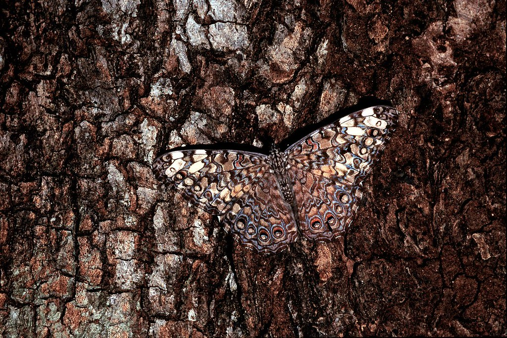 Gray cracker butterfly (Hamadryas februa) on a tree trunk in Santa Rosa National Park, Costa Rica.