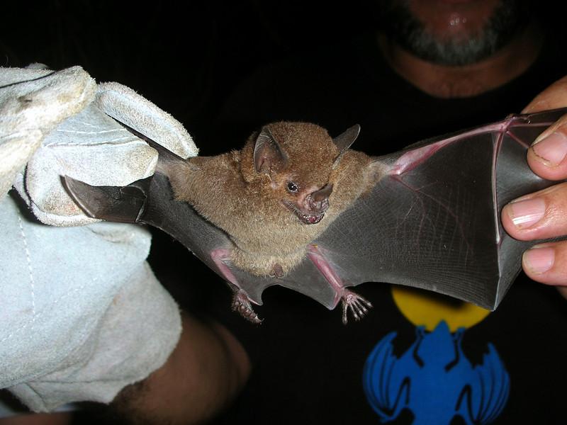 A small insectivorous bat (Carollia castanea) caught in a mist net at Campanario, Osa Peninsula, Costa Rica