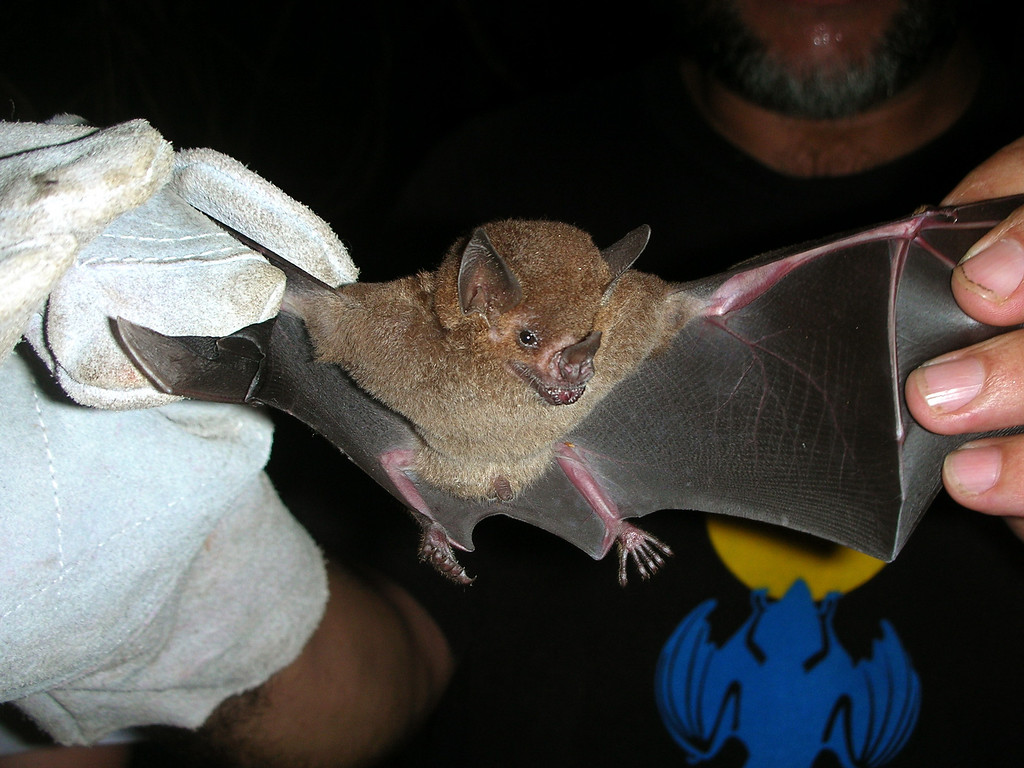A small insectivorous bat (Carollia castanea) caught in a mist net at Campanario, Osa Peninsula, Costa Rica