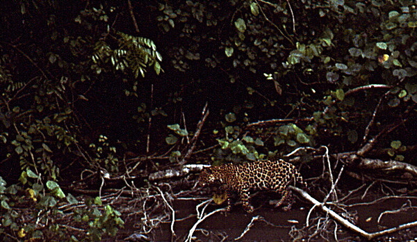 Jaguar walking upstream near the mouth of the Rio Claro, Corcovado National Park, Costa Rica.
