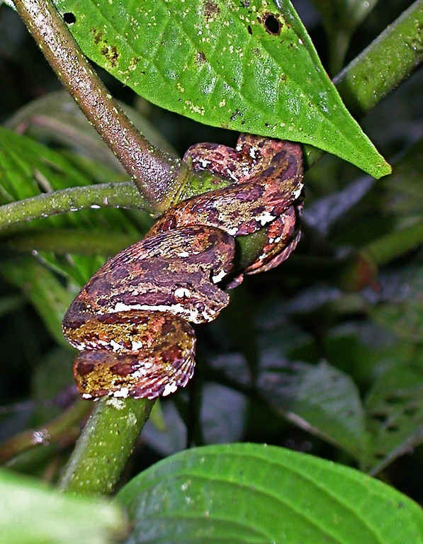 Blotched Palm-pitviper (Bothriechis supraciliaris) in vegetation about 1.5m height along the road leading to Alberto Manuel Brenes Biological Reserve. Spanish name is Bocaracá manchada.