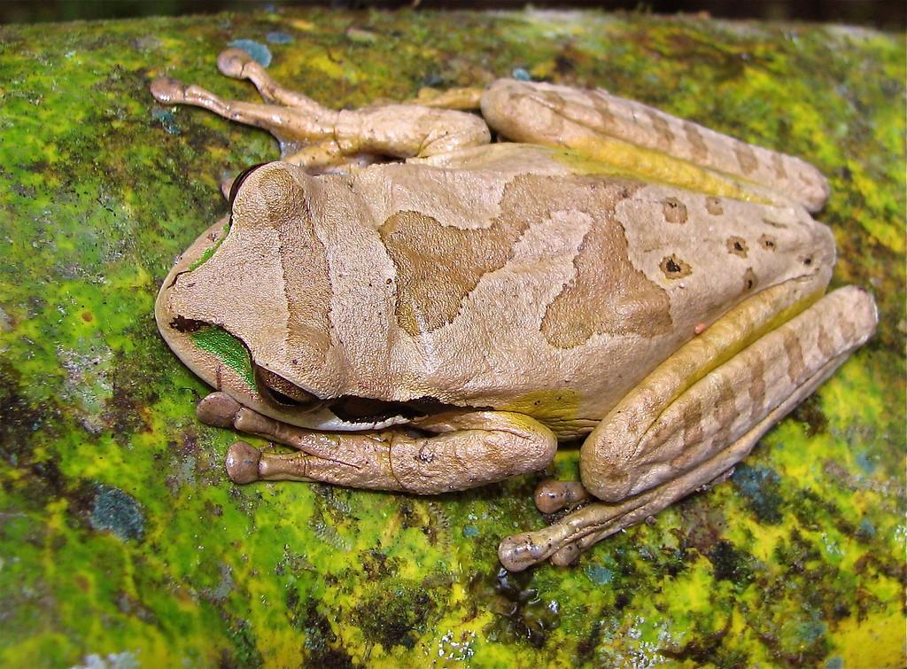 Masked tree frog (Smilisca phaeota), Alberto Manuel Brenes Biological Reserve, Costa Rica.