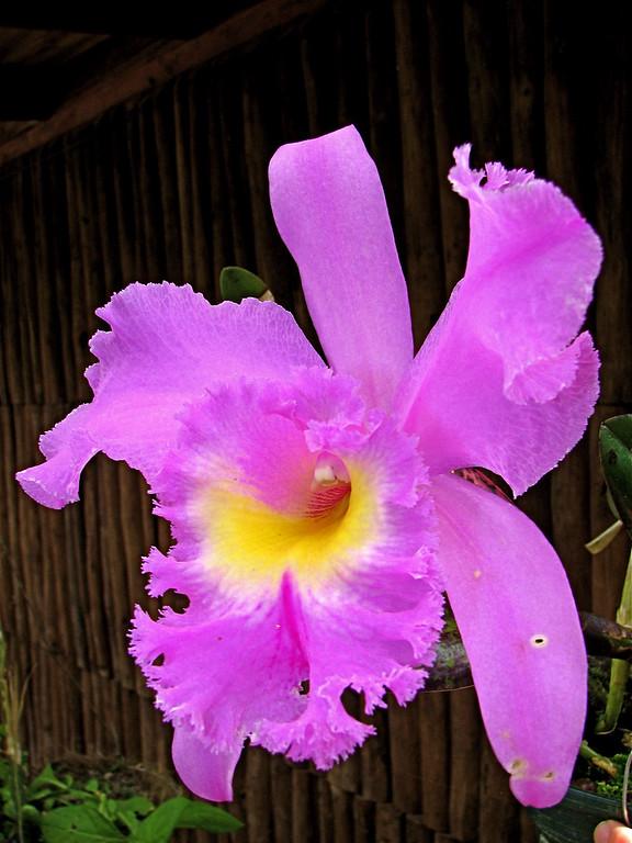 Orchid (Cattleya sp.).