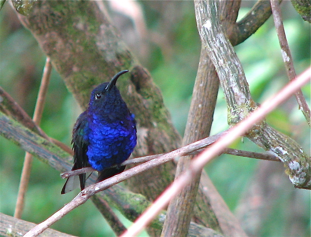 Violet Sabrewing (Campylopterus hemileucurus) hummingbird at the restaurant Mirador Valle del General, near San Isidro, Costa Rica. Spanish names are Colibrí, gorrión, ala de sable violáceo.