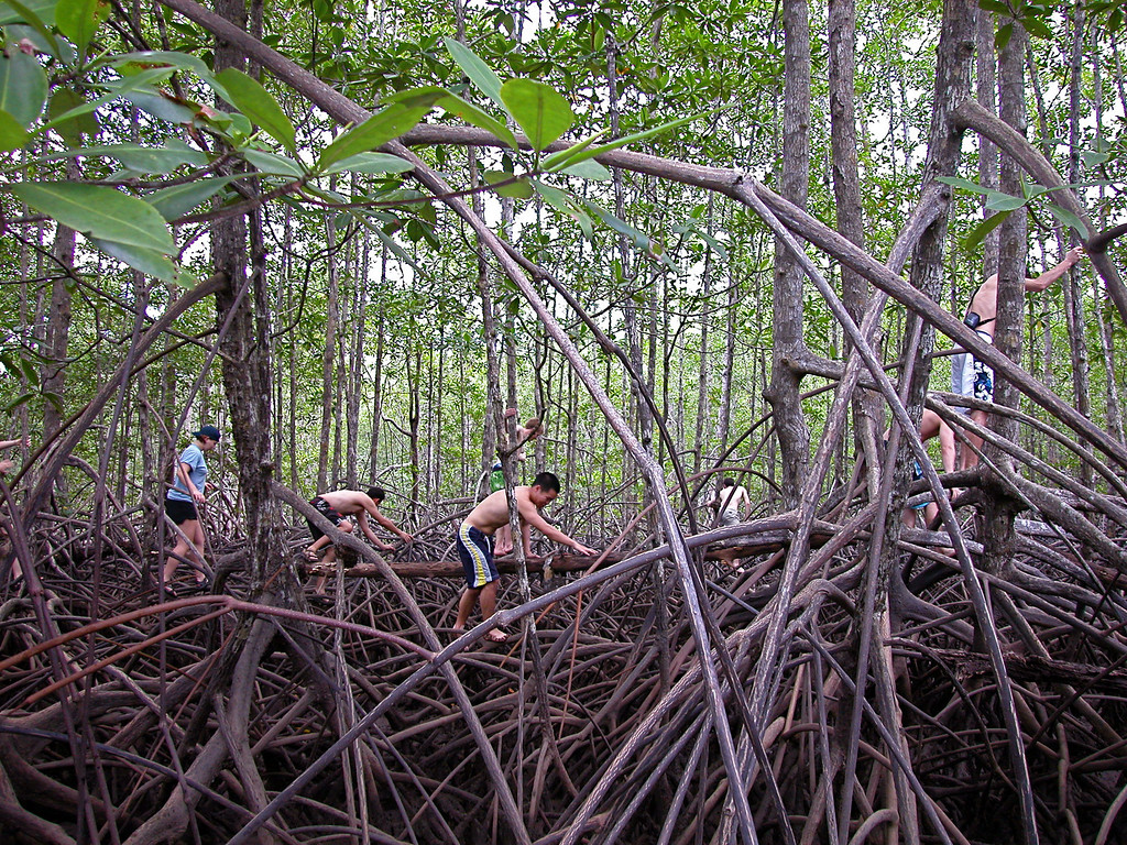 Exploring a red mangrove (Rhizophora mangle) forest, Sierpe River, Costa Rica