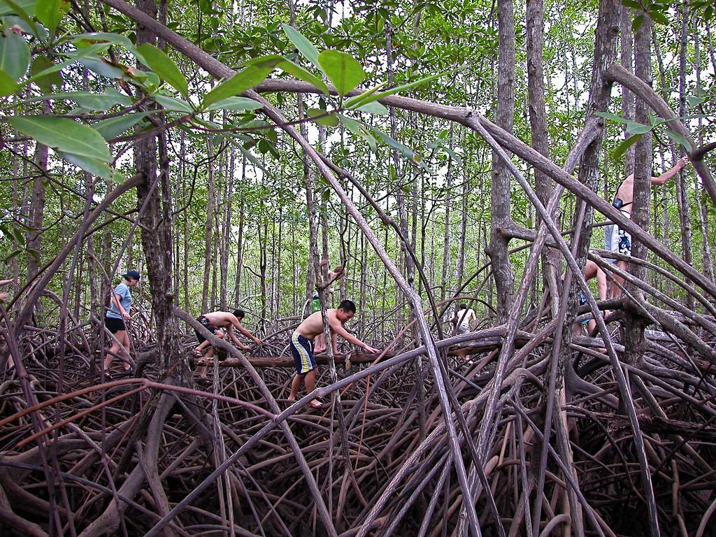 Exploring a red mangrove (Rhizophora mangle) forest, Sierpe River, Costa Rica