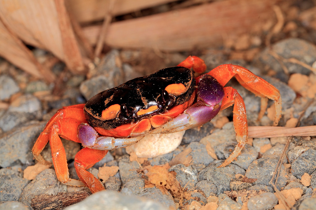 Land crab (Gecarcinus lateralis) in my rustic shower at Campanario, Osa Peninsula, Costa Rica