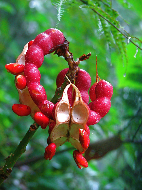 Seed pod and seeds of an Erythrina sp. shrub (pea family; Fabaceae).  Found growing along the road leading to Alberto Manuel Brenes Biological Reserve, Costa Rica.