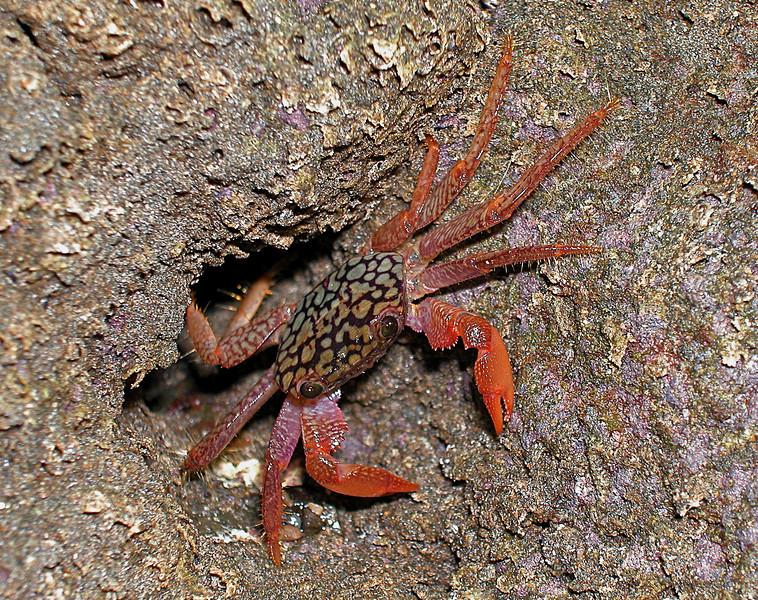 Crab in the rocky intertidal at Campanario, Osa Peninsula, Costa Rica