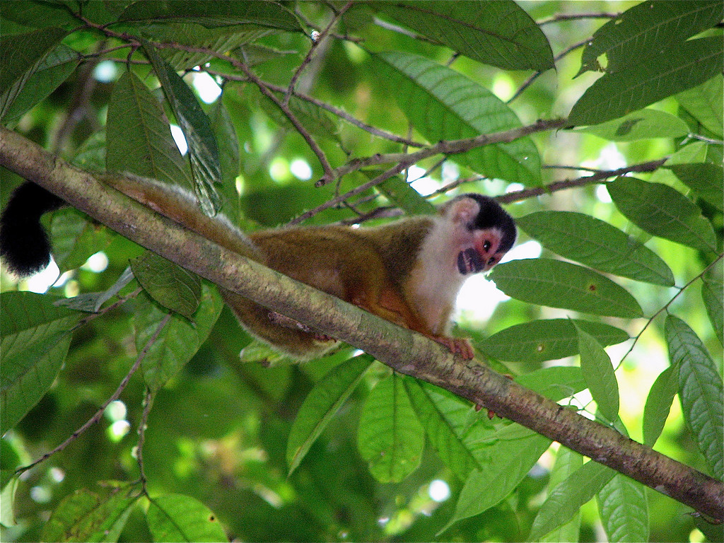 Squirrel Monkey (Saimiri oerstedii).  Sirena, Corcovado National Park, Costa Rica.  Spanish names are Mono ardilla, tití.