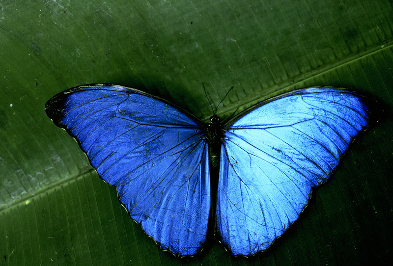 Blue morpho butterfly (Morpho amathonte), Corcovado National Park, Osa Peninsula, Costa Rica