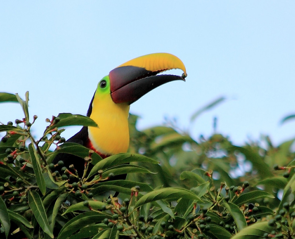 Chestnut-mandibled Toucan (Ramphastos swainsonii) collecting fruits of a Lauraceae tree, Campanario, Costa Rica
