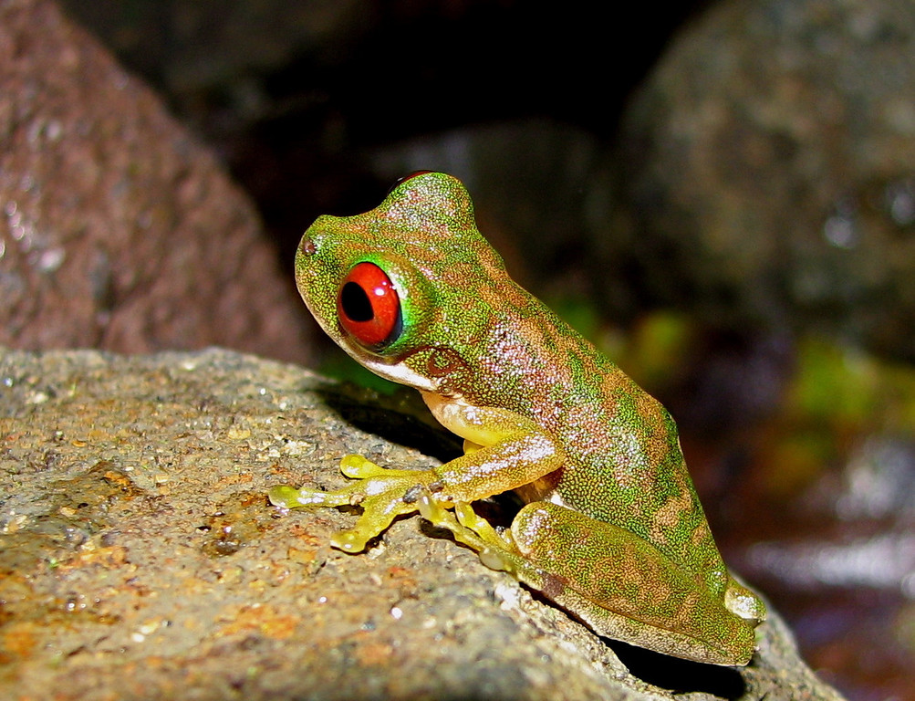 Small red eyed tree frog (Duellmanohyla rufioculis). One year we found a number of these on rocks in a stream at Alberto Manuel Brenes Biological Reserve, Costa Rica. Of the 16 years I have visited this site in late December, this was the only time we've seen this species.