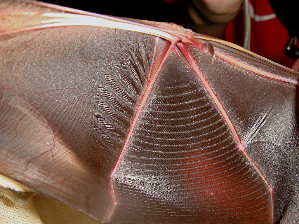 Closeup of the lovely and delicate wing membrane of the wrikle faced bat, Centurio senex.