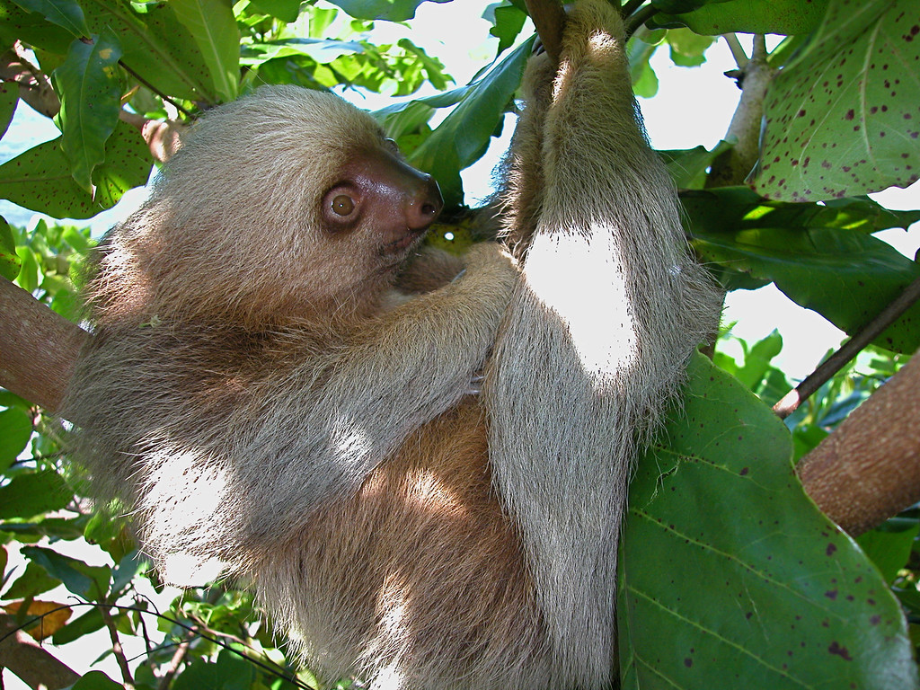 Two toed sloth (Choloepus hoffmanni; spanish common name is perezoso de dos dedos) in a sea almond tree (Terminalia catappa) near the San Pedrillo station of Corcovado National Park.  These sloths can be found often in this grove of trees.