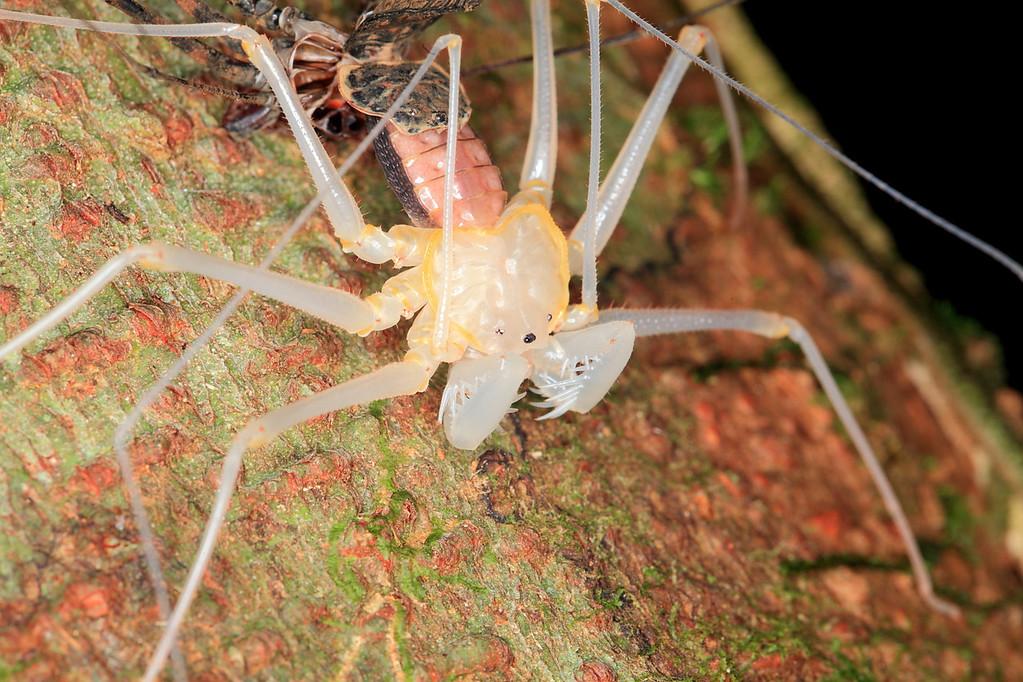 Molting Whip Scorpion (Phrynus parvulus), Campanario, Osa Peninsula, Costa Rica