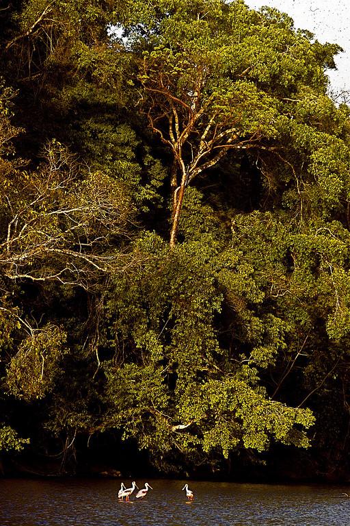 Roseatte spoonbills Rio Claro2