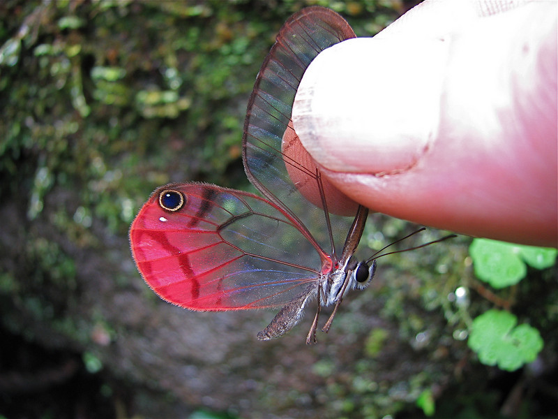 Cithaerias pireta, a satyrid butterfly that flits along the forest floor. Costa Rica.