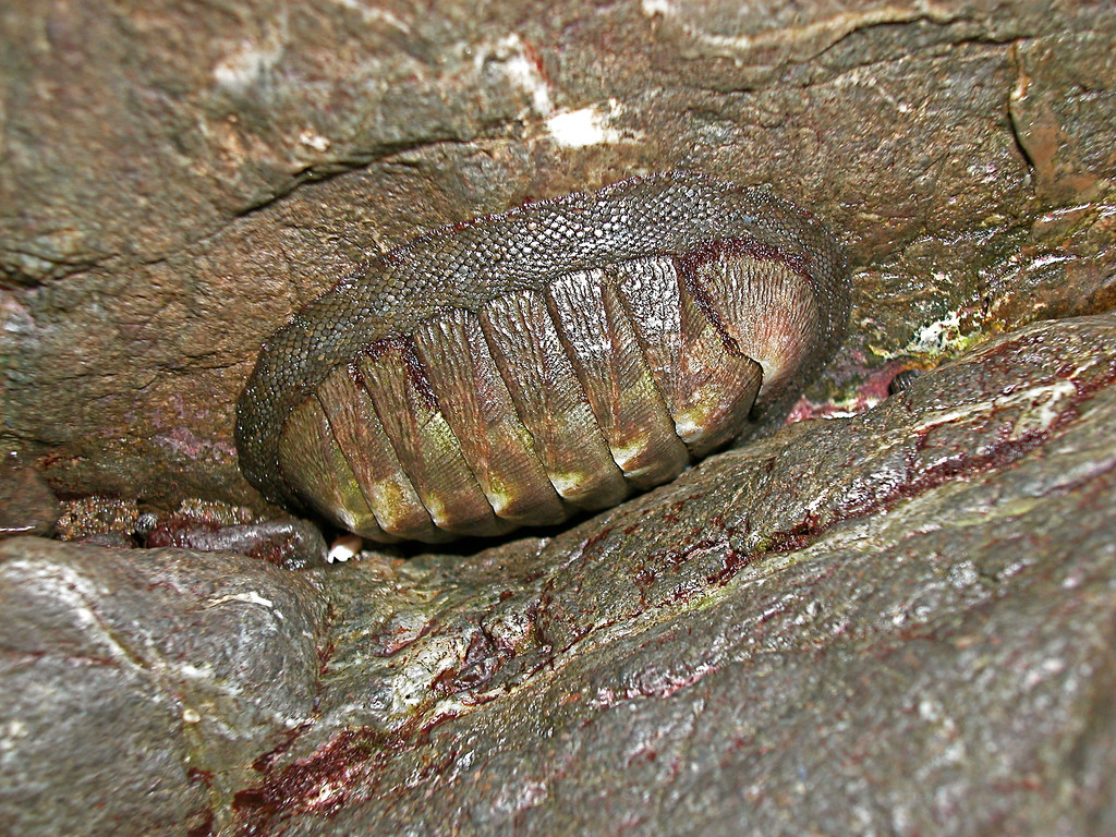 Chiton.  Intertidal zone, Osa Peninsula.